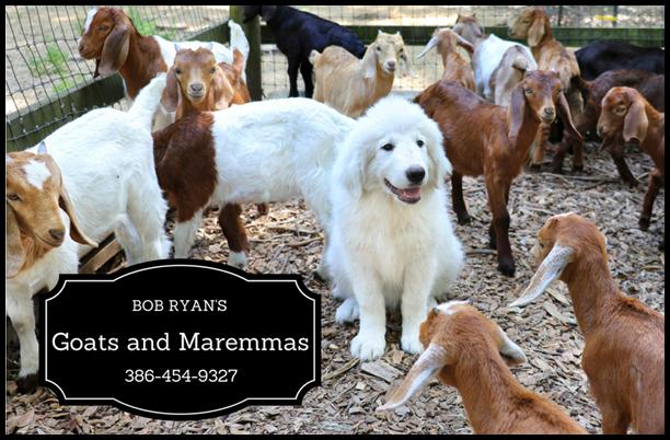 Bob Ryan Sponsor maremma puppies goats farm 1010x671
