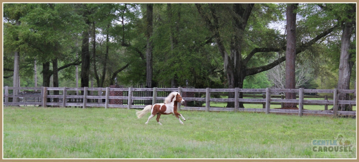 Dream Miniature Therapy Horse Running on Gentle Carousel Farm 1167x538